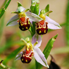 50Pcs Flower Bee Orchid Flower Seeds Smile Face Interesting Flowers Seeds RARE