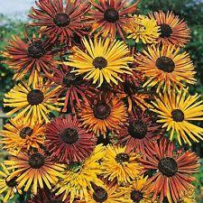 30+ Chim Chiminee Rudbeckia Fowers Seeds / Reseeding