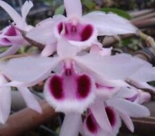 RARE FIND VARIEGATED LEAVES FRAGRANT DENDROBIUM ANOSMUM ORCHID SPECIES