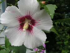50 WHITE & HOT PINK ROSE OF SHARON HIBISCUS Syriacus Flower Tree Bush Seeds