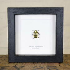 Golden Scarab Beetle in Box Frame (Chrysina Resplendens)  insect taxidermy