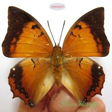 unmounted butterfly Nympalidae charaxes aristogiton GUANGXI  A1-