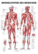Das Muskelsystem poster 24cm x 34cm von Rüdiger Anatomie