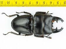LUCANIDAE - Stag Beetle - Dorcus alcides (Short Horn, 75mm) - Indonesia - 1038