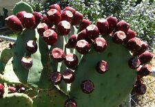 TEXAS PRICKLY PEAR CACTUS PAD SEGMENT - OPUNTIA LINDHEIMERI - Edible Fruit