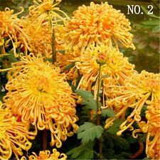 Deep yellow Chrysanthemum seed courtyard plant balcony home garden 30 seeds NO.2
