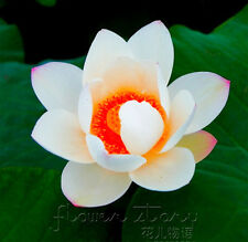 10 Seeds Red Heart Lotus Seeds Water Plants Fragrance Aquatic Flowers