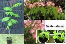 Seidenakazie/Schlafbaum  wackelt mit den Blättern