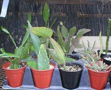 Epiphyllum, Rhipsalis, Rhipsalis Paradoxa, Quart potted plants.