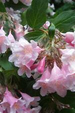 10 BEAUTY BUSH SHRUB Beautybush Kolkwitzia Amabilis Flower Seeds +Gift & Comb SH