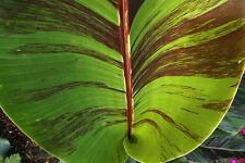 Musa sikkimensis Red Tiger - Red Darjeeling Banana - 10 Fresh Seeds