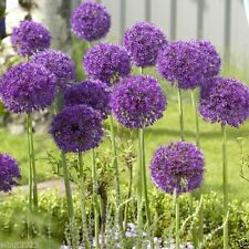 "20 Allium Bulbs - ""Purple Sensation"" Perennials Bulbs , Now Shipping"