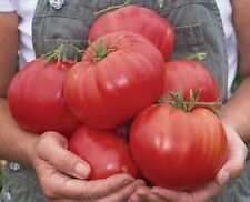 Tomato Seeds Mexico Big Tomato 50 Seeds Garden Seed