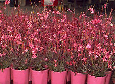 Gaura 'Crimson Butterflies' deep pink blooms & bronzed foliage perfect 4 pots