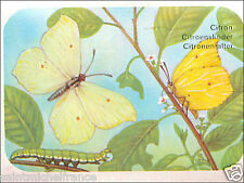 Citron (papillon) Gonepteryx rhamni Common brimstone BUTTERFLY IMAGE CARD 60s