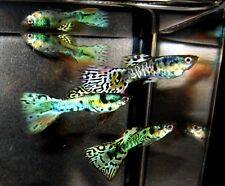 1 Prehit Pregnant Nebula Steel Guppy Bred to Pictured Males