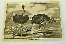 1832 magazine engraving ~ THE OSTRICH OF SOUTH AFRICA Male & Female