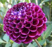 Heirloom 300 Seeds Dahlia Dinnerplate Dinner Plate Mixed Colors Garden Flowers