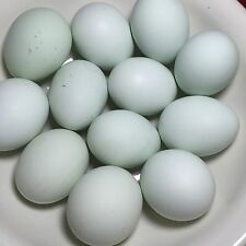True Blue Whiting Hatching Eggs 10+ Free Range & Organic Fed Flock