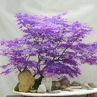 30pcs Seltene Lila Samen Ahorn Baum & Bonsai Seeds