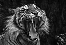 Framed Print - Black & White Jaws of a Wild Indian Tiger (Picture Animals Art)