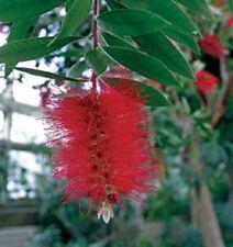 Bottlebrush, Scarlet, red flowering shrub, hummingbirds love them, TEN plants