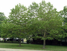 500 American Sycamore Tree Seeds, Platanus occidentalis, Free Shipping