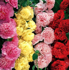 "50+ HEIRLOOM FLOWER SEEDS - HOLLYHOCK - ""CARNIVAL MIX"" NON-GMO ANNUAL, VERY TALL"