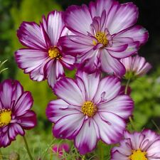 Kings Seeds - Cosmos, Fizzy Rose Picotee - 100 Seeds