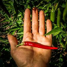 Certified Organic Cayenne Chili Pepper Seeds (~40): Non-GMO Heirloom Packet