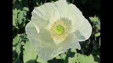 CHINA WHITE Papaver Somniferum Poppy Seeds 2500 Seeds
