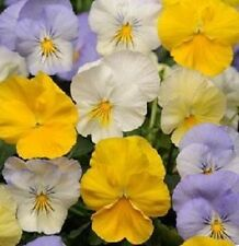 50 Seeds Pansy Cool Wave Pastel Mix Coolwave Pansy BULK SEEDS