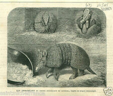 Tatou Nine-banded armadillo ZSL London Zoo Regent's Park GRAVURE OLD PRINT 1869