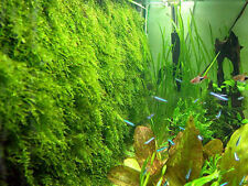 Xmas Moss-for java live freshwater tropical fish AA1