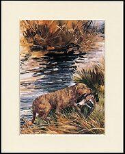 CHESAPEAKE BAY RETRIEVER DOG RETRIEVING DUCK LOVELY PRINT MOUNTED READY TO FRAME