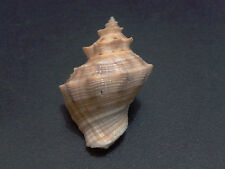 002- Murex seashell Thais lacera 36 mm.