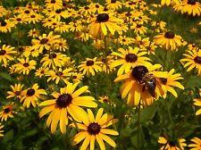 Black-eyed Susan Rudbeckia hirta (1 oz- Approx 50,000) Wildflower SEED-Perennial