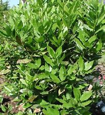 Laurus nobilis  in 7cm pot  -Bay Tree