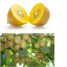 200+ Thai Gold yellow kiwi seeds, organic ,non GMO,  US seller, SHIPS FREE