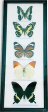 REAL 5 BUTTERFLIES Insect Collection Gifts Taxidermy Display in Frame For Sale#J