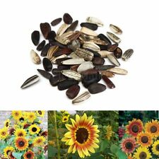 25Pcs Graines De Tournesol Sunflower Samen Seeds Helianthus Multi-couleur Fleur