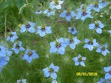 Miss Jekyll Blue Love-in-a-Mist ( Nigella) (100 seeds) EASY TO GROW / BLUE