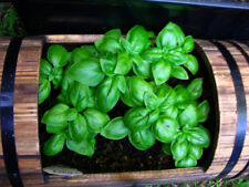 SWEET BASIL Ocimum Basilicum Herb White Flower 30 Seeds