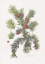 Europäische Eibe - Taxus baccata Farbdruck von 1960 Ibe Ife Tacks