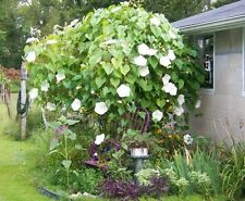 "Moon Flower ""Giant White"" Climbing Vine 15 Seeds Fragrant Opens at Twilight !"