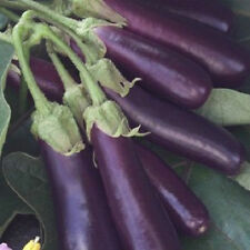 300 Long Purple Italian Egg plant Seeds eggplant