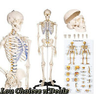 Skeleton Anatomical Human Model Medical Stand Life Size Anatomy Teaching School