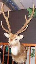BEAUTIFUL AXIS DEER PROFESSIONAL TAXIDERMY SHOULDER MOUNT  EX .CONDITION