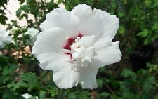 Morning Star Althea, Rose of Sharon,Hibiscus syriacus,Double White Blooms,Seeds