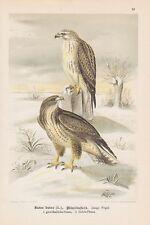 Mäusebussard Buteo buteo Chromo-lithographie um 1900 Greifvögel Raubvögel